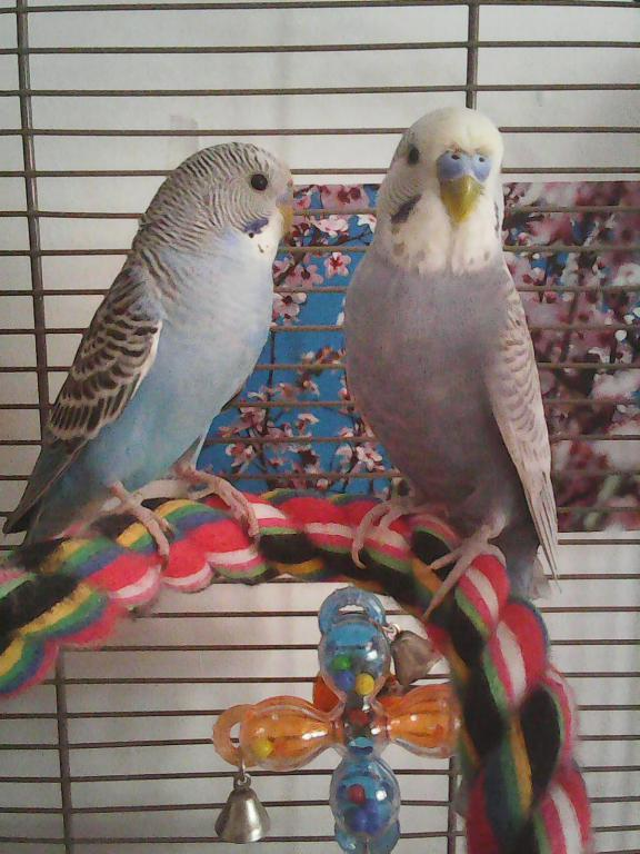 Two budgies: Love/hate relationship-photo1499.jpg