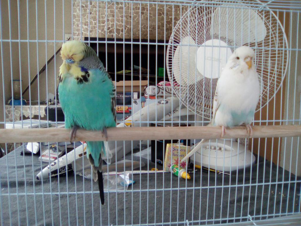 My first English budgie pair!-photo_2017-04-01_12-41-32.jpg