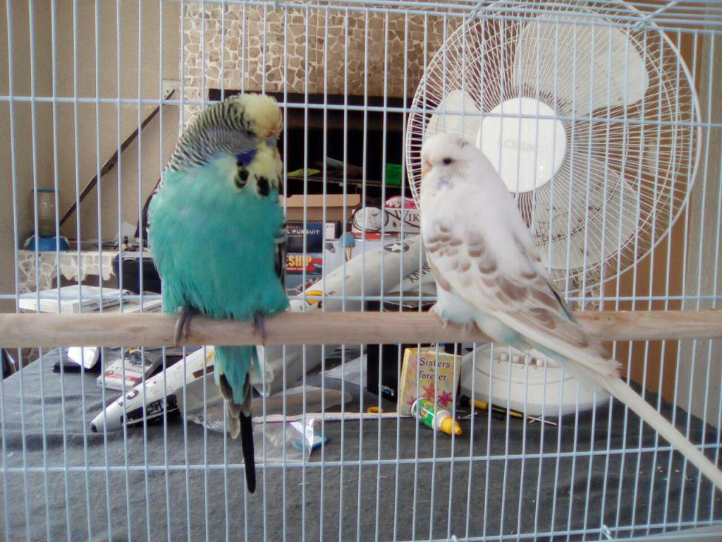 My first English budgie pair!-photo_2017-04-01_12-41-38.jpg