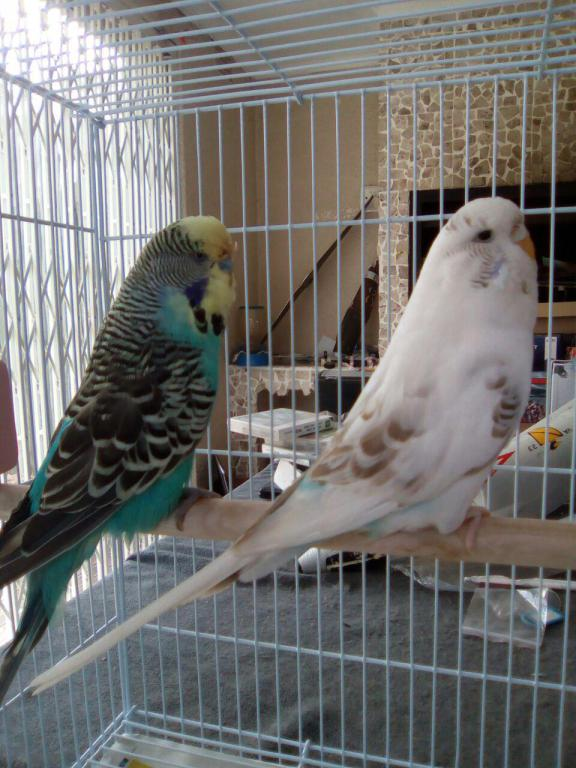 My first English budgie pair!-photo_2017-04-01_12-41-43.jpg