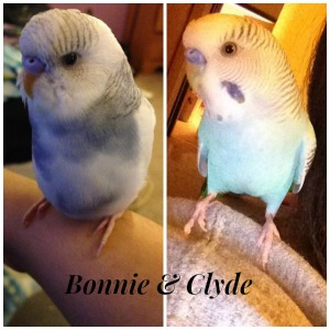 Should i seperate my budgies?-picmonkey-collage.jpg