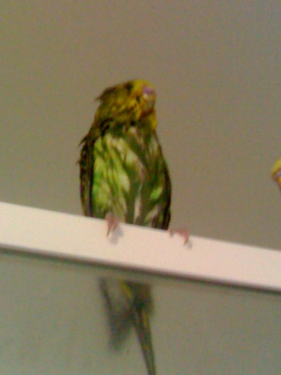 Budgie of the Month April/12-picture-003.jpg