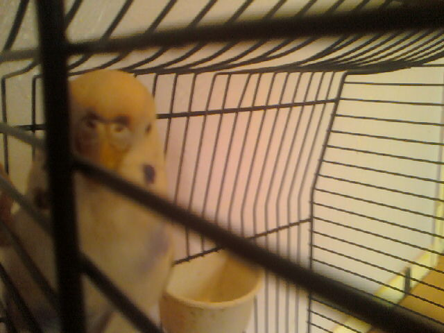 My parakeet a girl or a boy?-picture-014.jpg