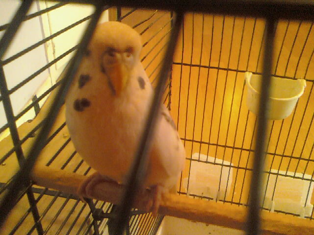My parakeet a girl or a boy?-picture-015.jpg