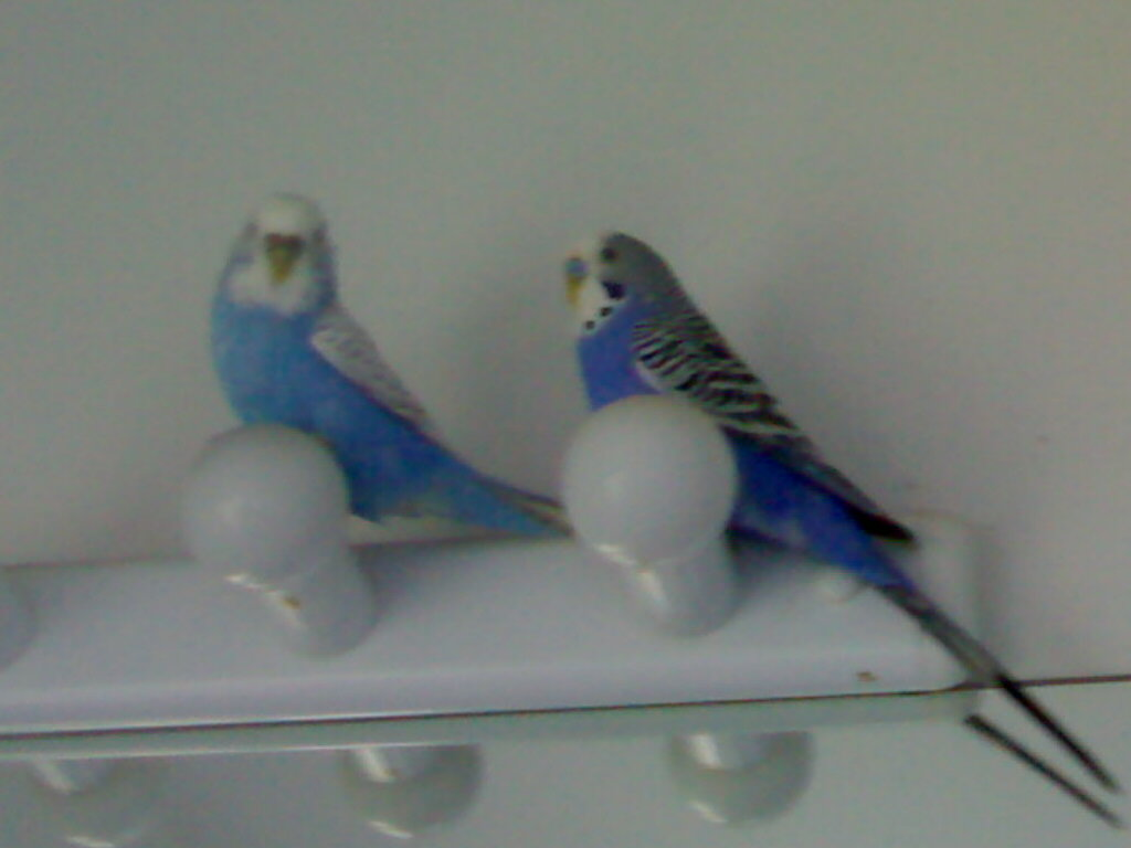 What colour budgies to put with who???-picture-335.jpg