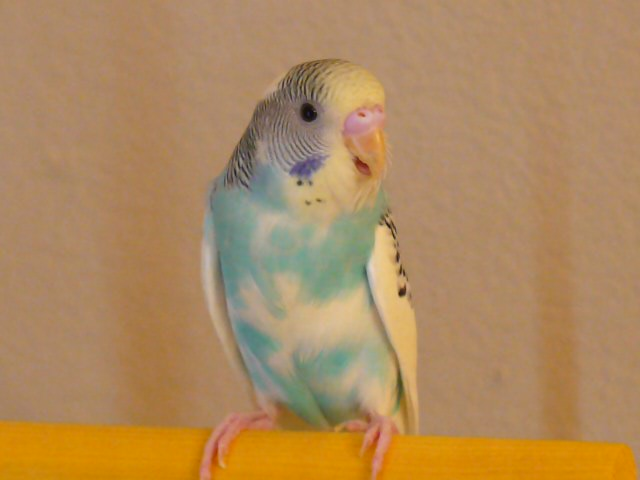 new budgie (4th)-picture-357.jpg