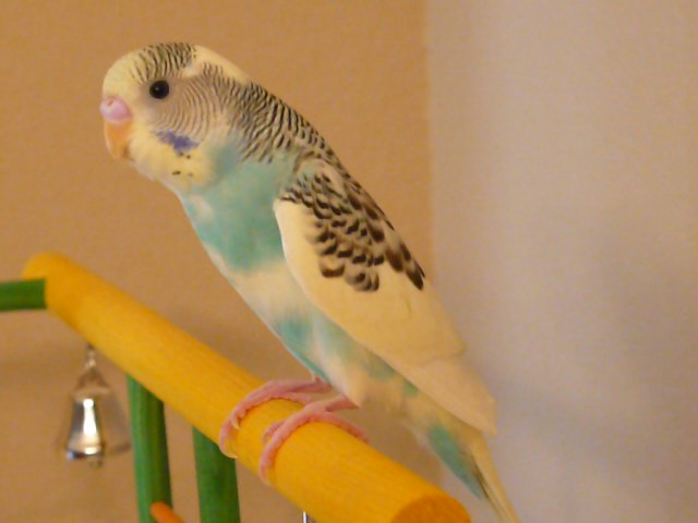 new budgie (4th)-picture-358.jpg