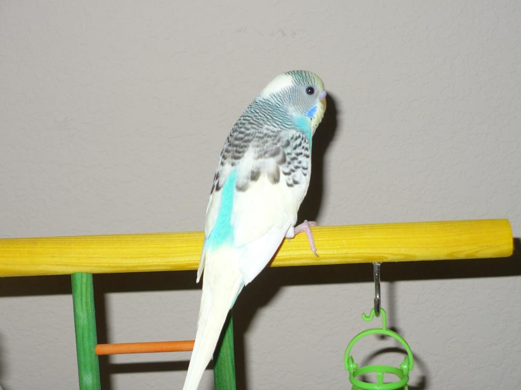 new budgie (4th)-picture-359.jpg