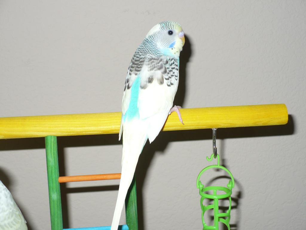 new budgie (4th)-picture-360.jpg