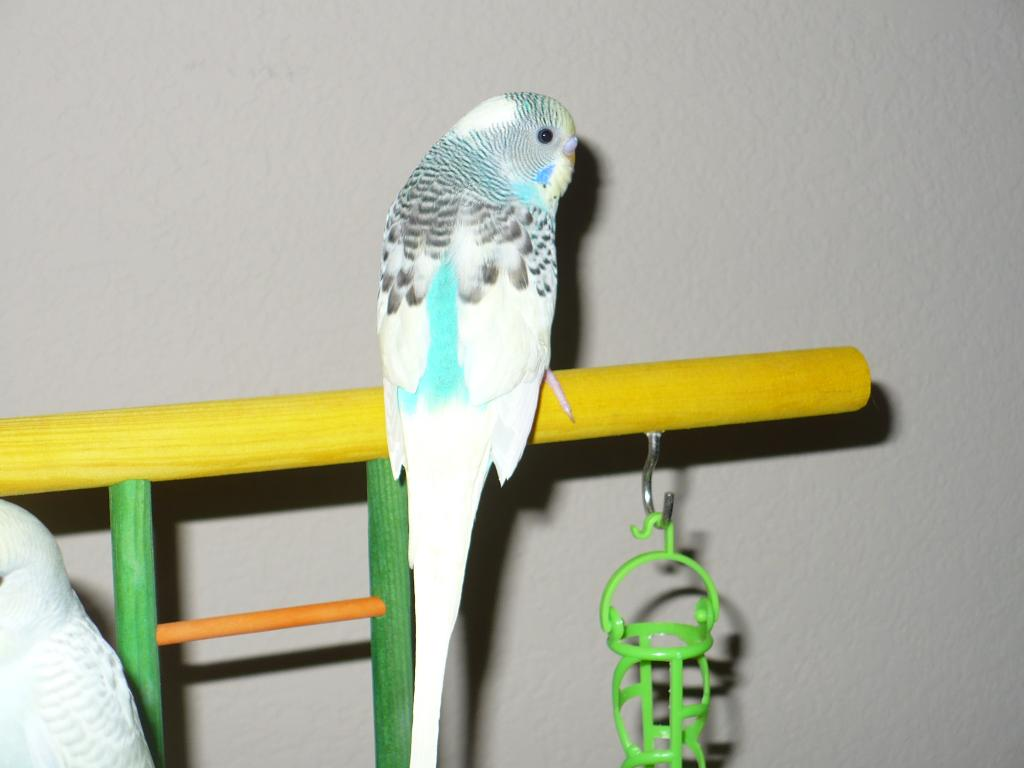new budgie (4th)-picture-361.jpg