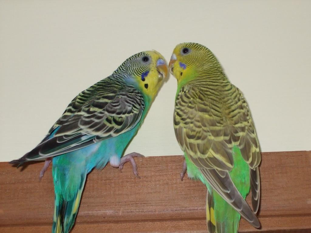 Draw your budgie?-picture-539.jpg
