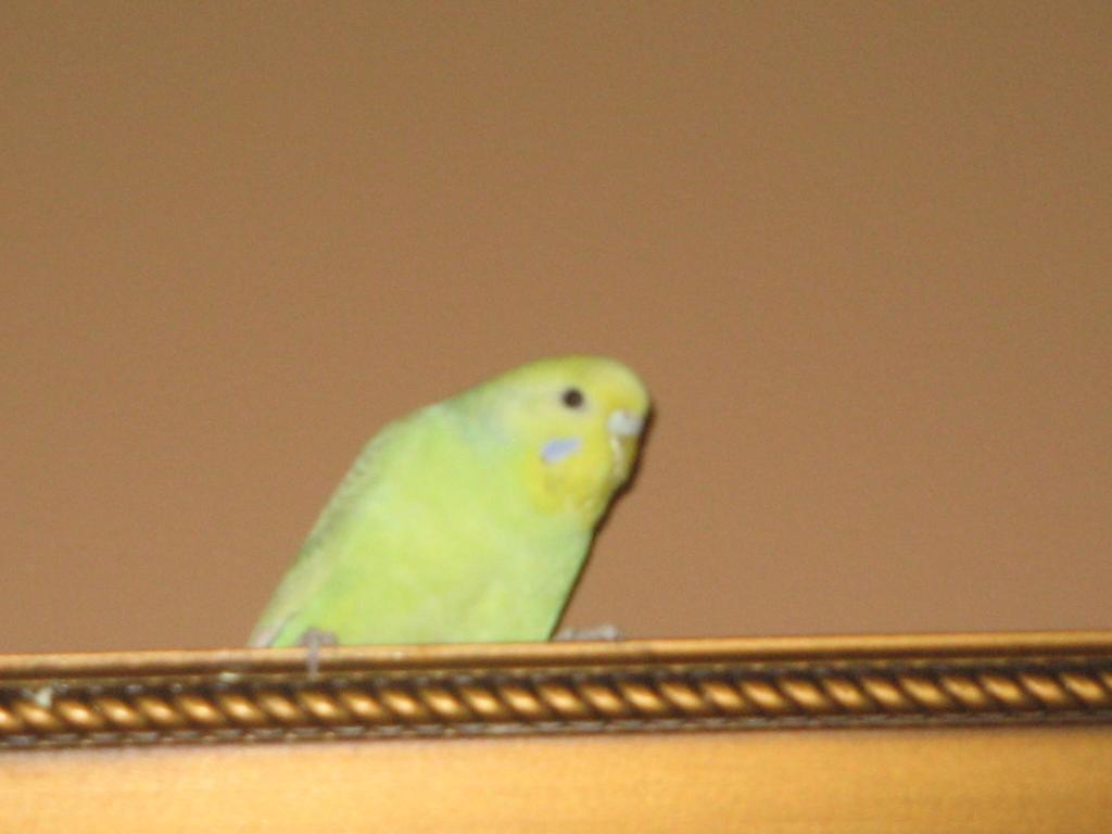 Does anyone know the type of budgie I have?-picture-592.jpg