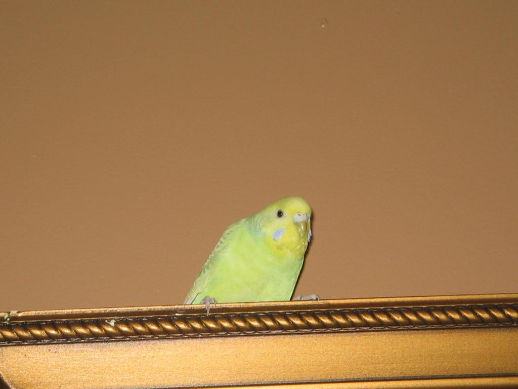 Does anyone know the type of budgie I have?-picture-593.jpg