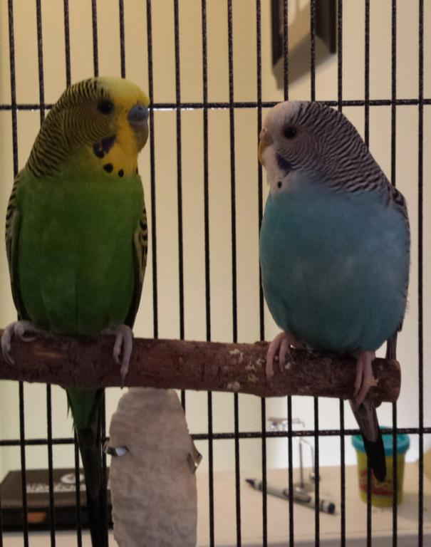 Cutting the nails of untamed budgies-piperandmillie.jpg