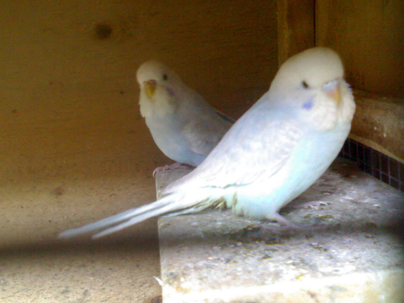what mutations are these-princess-kiki-tlk-budgies.jpg