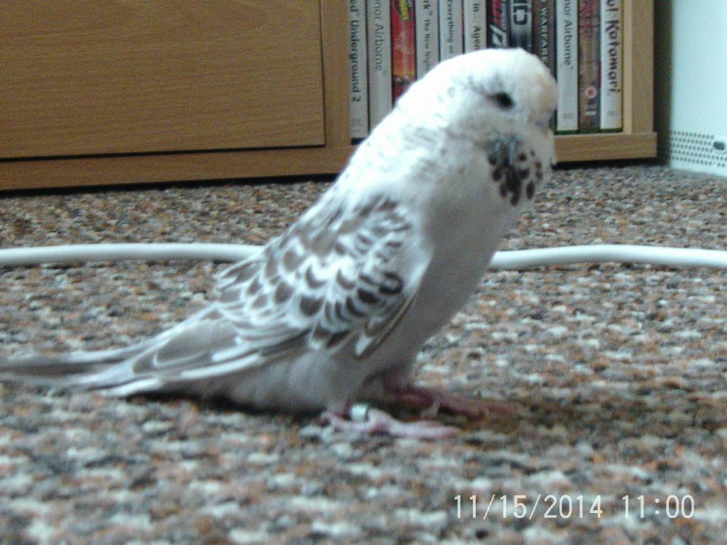 Question about budgie markings-ptdc0198.jpg