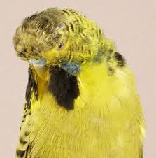 Are these birds real?-realbudgie.jpg