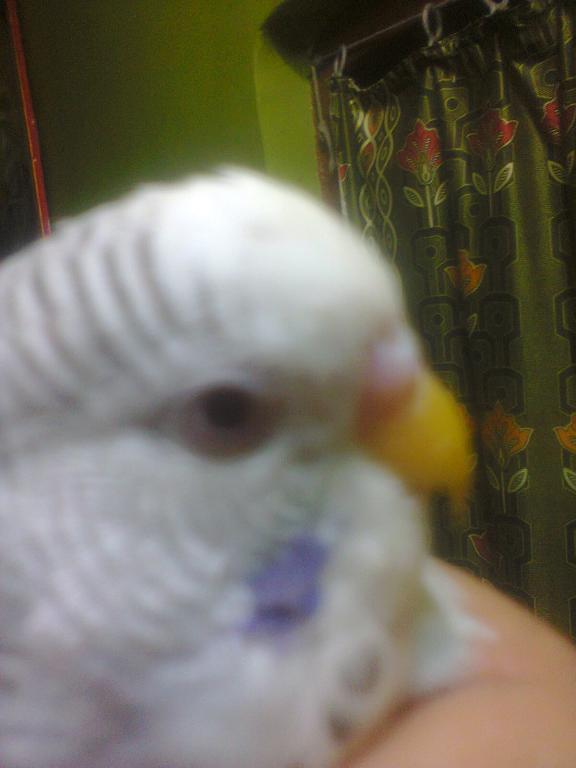 Confused about breed and sex of my budgie Its cere is light pinkish white and red eye-red-eyed-wyt.jpg