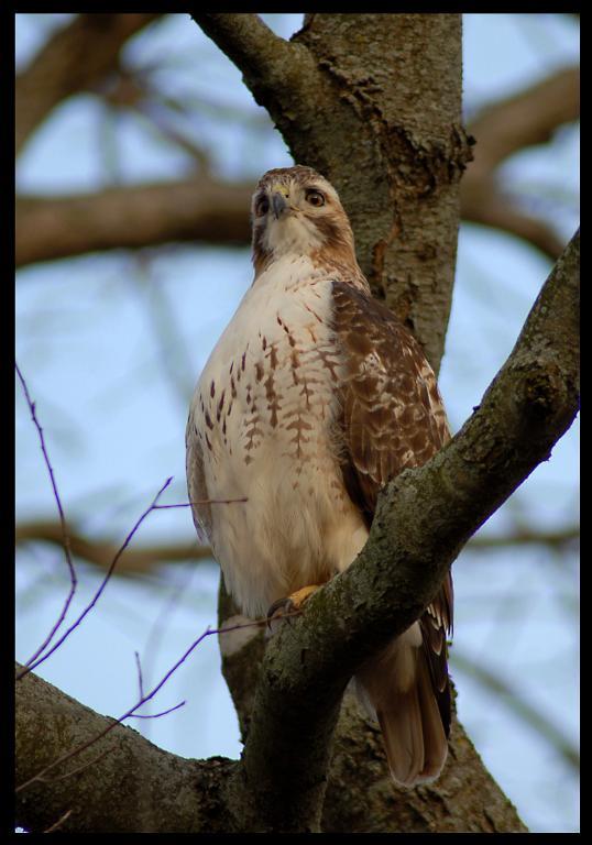 Bird Photos!-red_tail.jpg