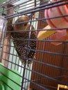 Red-bellied woodpecker-ruby.jpg