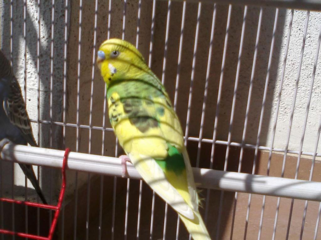 Cobalt hen and dark green opaling dominant pied male-sanpic901.jpg