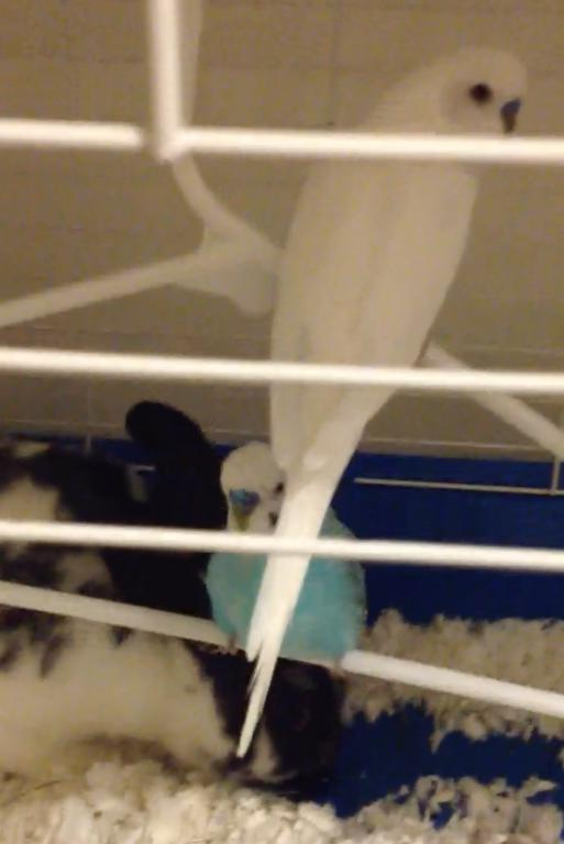 budgie backs butt up high against cage-screen-shot-2015-06-13-4.40.43-pm.jpg