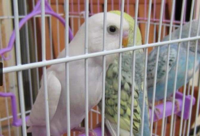 Pretty white budgie - boy/girl?-screen-shot-2015-06-27-10.56.51-am.jpg