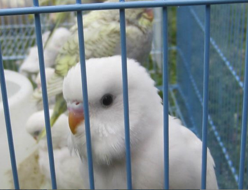 Pretty white budgie - boy/girl?-screen-shot-2015-06-27-10.57.03-am.png
