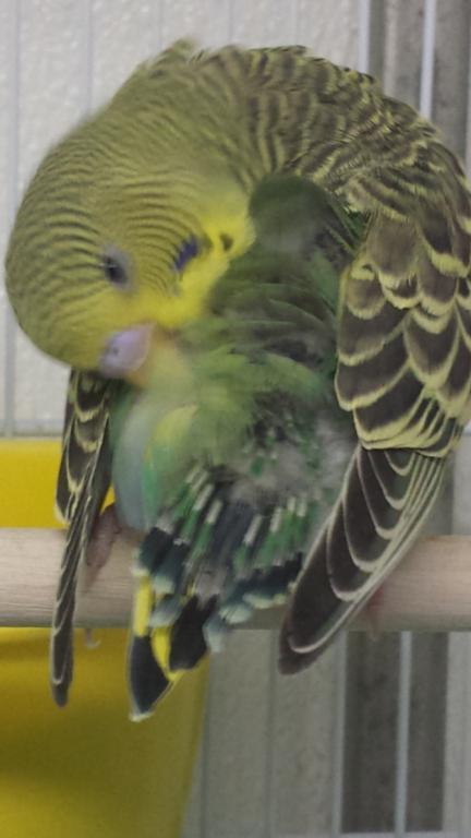 Do these short tail feathers indicate a very young budgie?-screenshot_2016-12-15-23-09-32_1481861945353.jpg