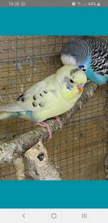 My 2 new birds-screenshot_20200326-163051_pets4homes_1585425035972.jpg