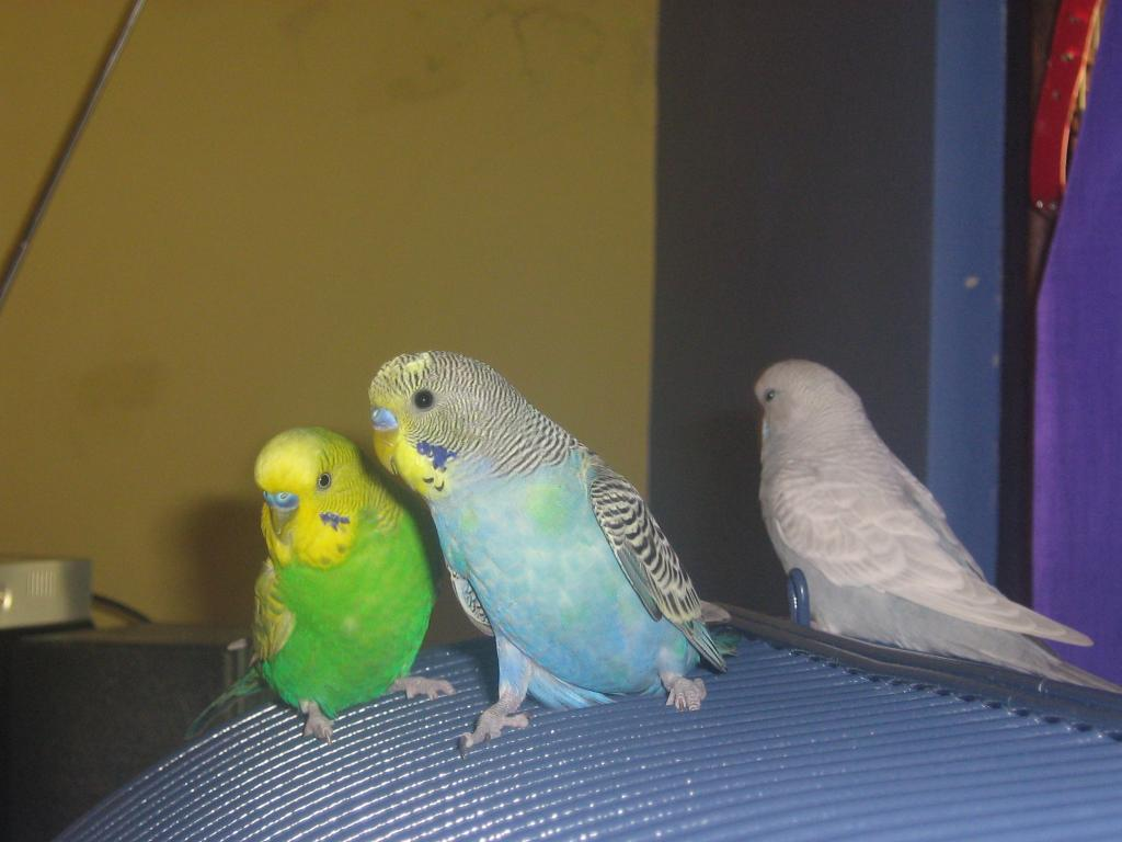 can you please tell me what my budgies are?-september08-003.jpg