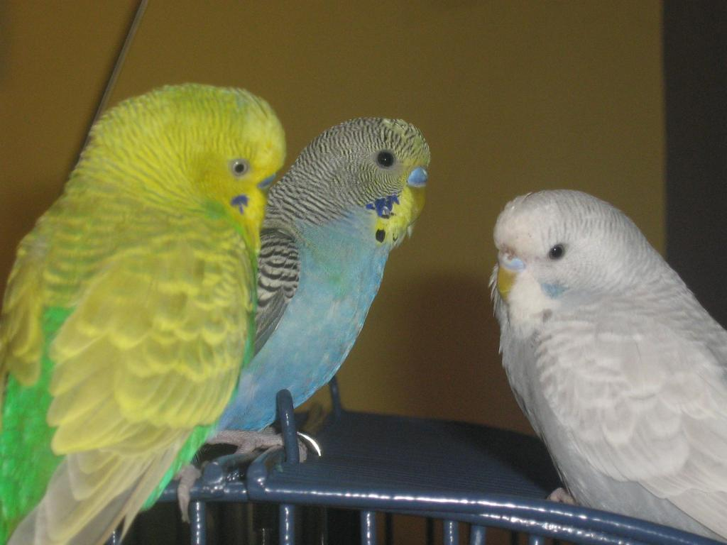 can you please tell me what my budgies are?-september08-011.jpg