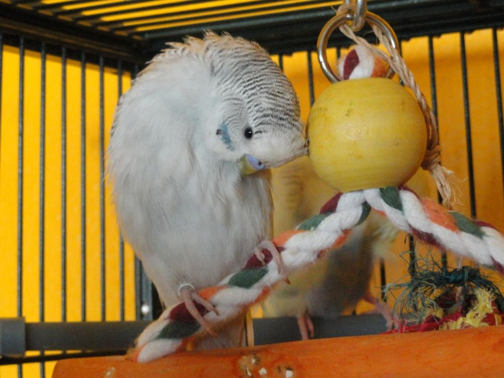Is my grey budgie also greywing or is this cinnamon?-simon.jpg