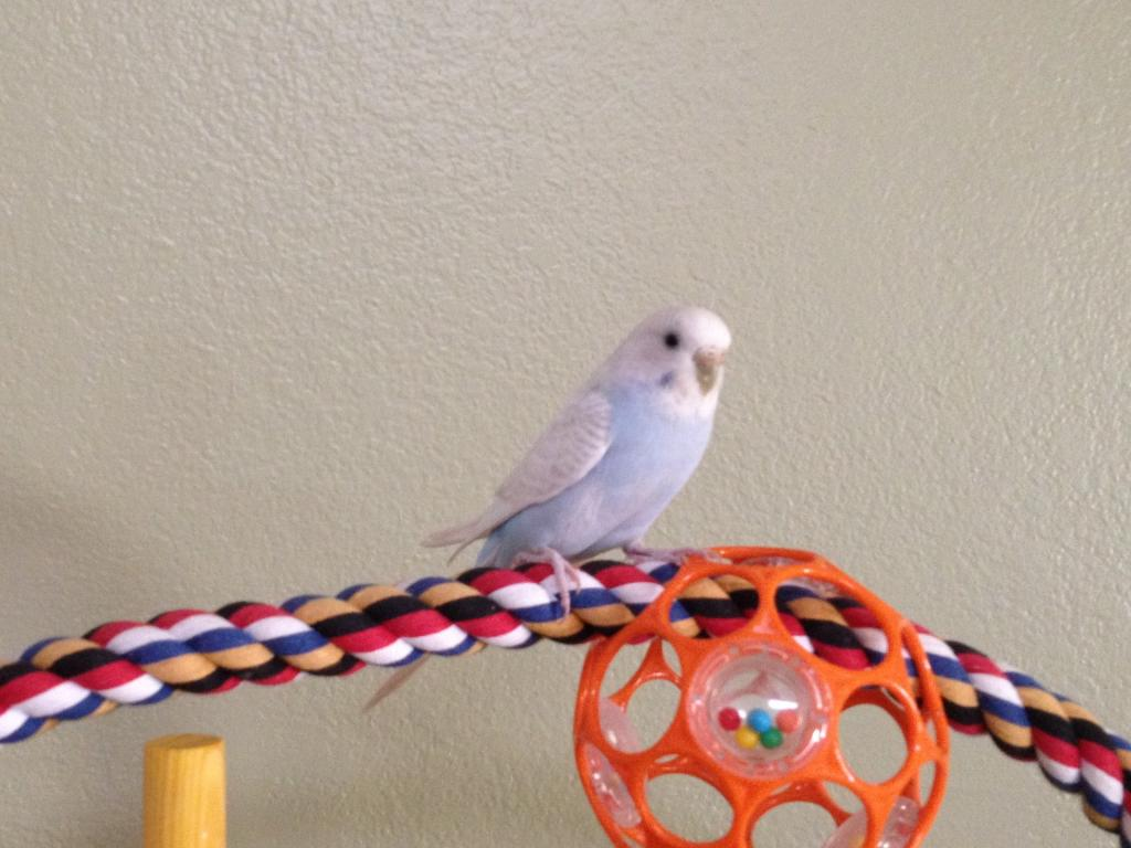 Help with mutation ID of my budgie bunch.-snowball.jpg