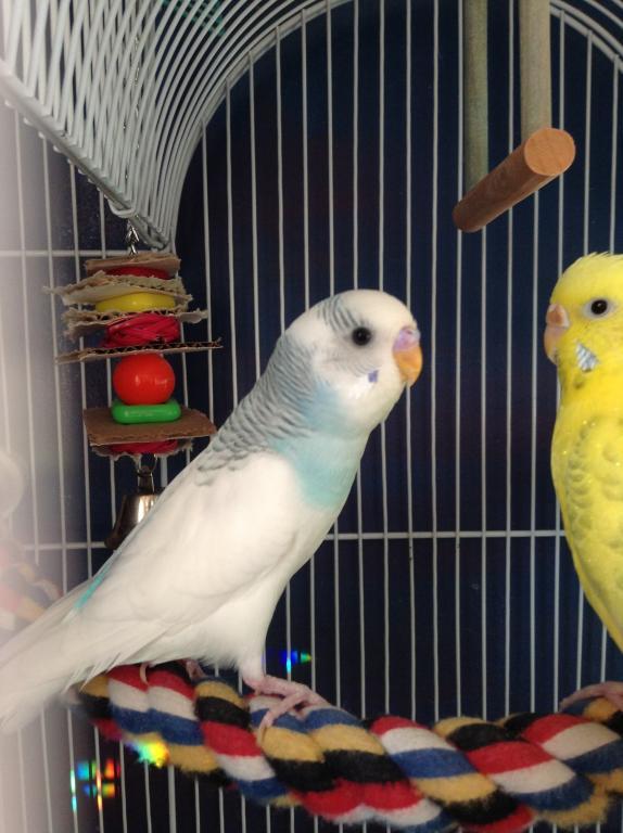What mutations are these chicks?-snowy-hari.jpg