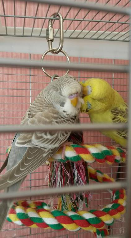 September 2015 Budgie of the Month Contest-sooty-sweep-kissing.jpg