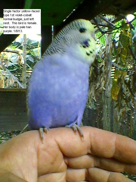 yellow-faced violet budgie.-sp_a1209.jpg