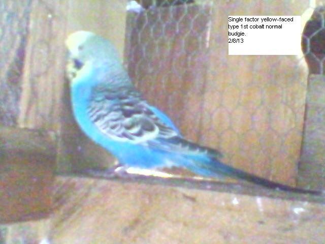 yellow-faced violet budgie.-sp_a1244.jpg