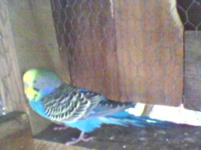 yellow-faced violet budgie.-sp_a1252.jpg