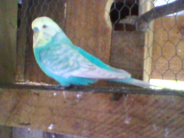 yellow-faced violet budgie.-sp_a1260.jpg