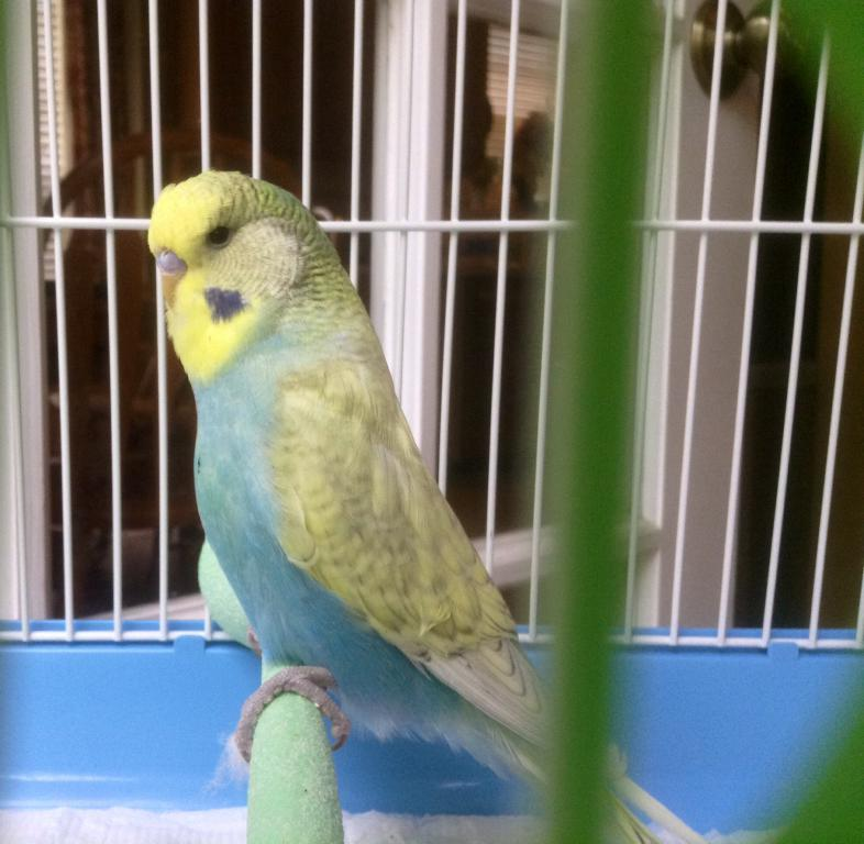 Identify Mutation and Sex of Budgie, Please-spangle3.jpg