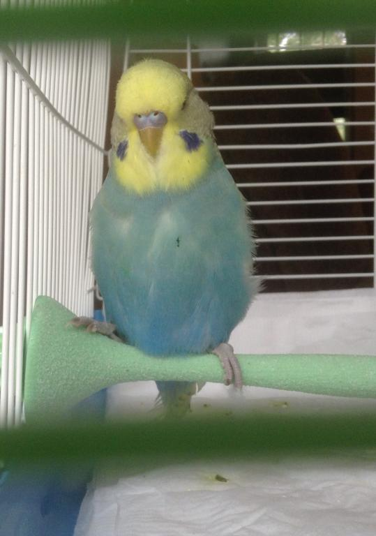 Identify Mutation and Sex of Budgie, Please-spangle5.jpg