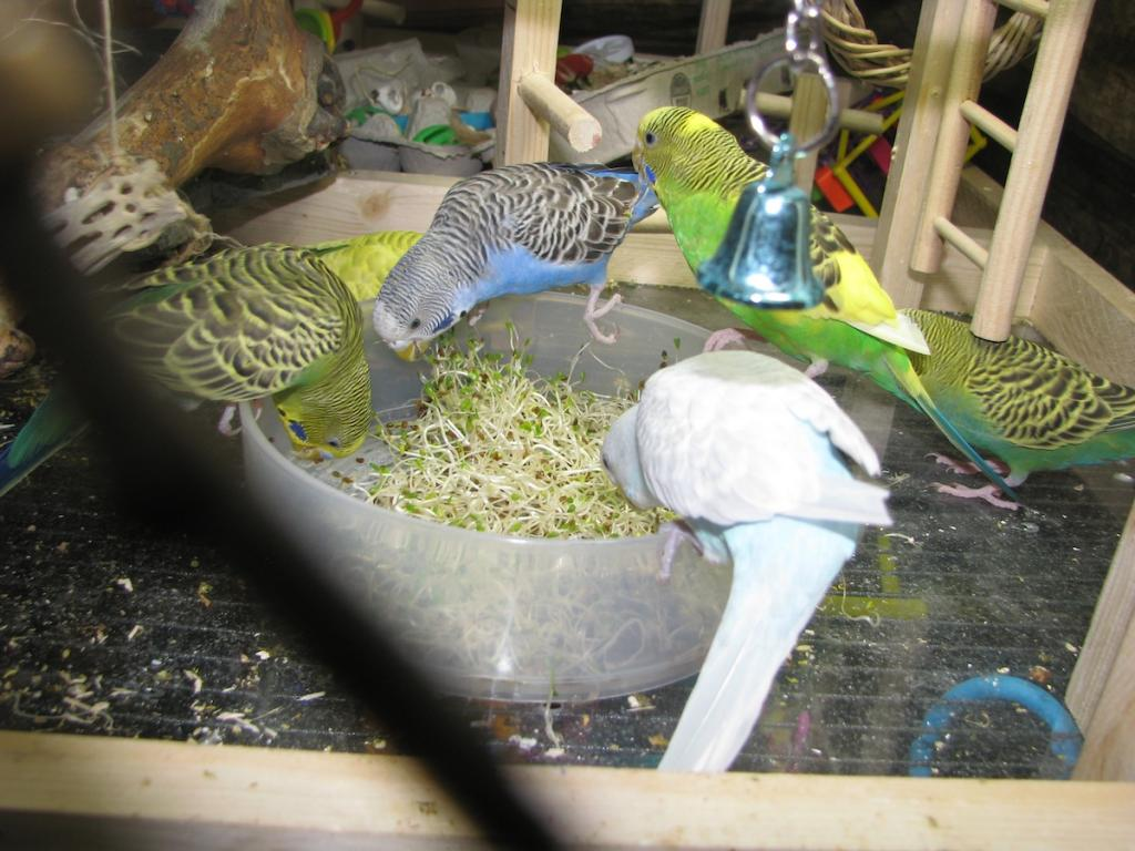 Pics of my flock being cute and eating healthy-sprouts.jpg