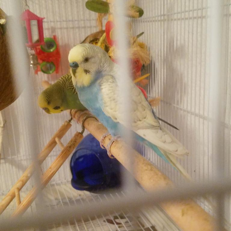 Which budgie should I separate?-super.jpg