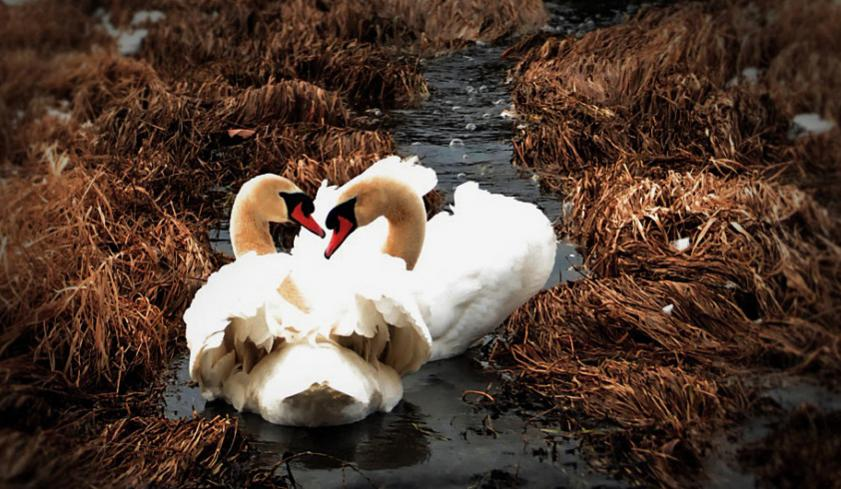 Bird Photos!-swans.jpg