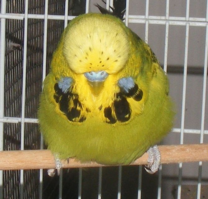 Best season for Budgerigars in Palestine-t1r4-cock.jpg