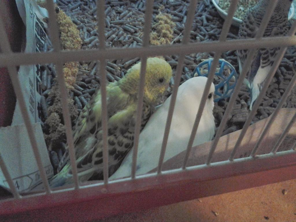 A feathered baby budgie, is he pied?-tantan2.jpg