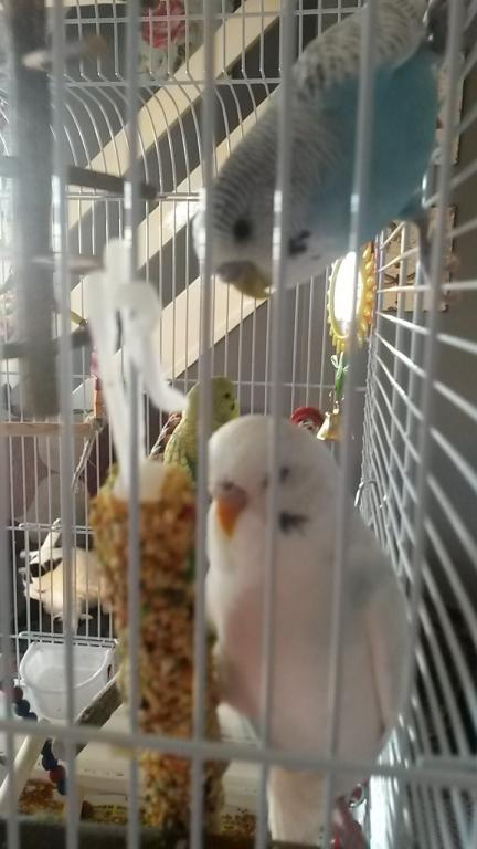 All 3 budgies have fell out :-(-thumbnail_20161129_124607%5B1%5D.jpg