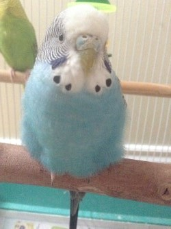 Is my budgie okay?-thumbnail_img_6575.jpg