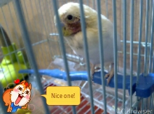 my budgie's featherless red face..help!-tmpdoodle1443219016687.jpg